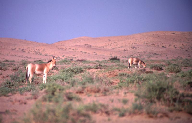Флора и фауна пустыни Гоби