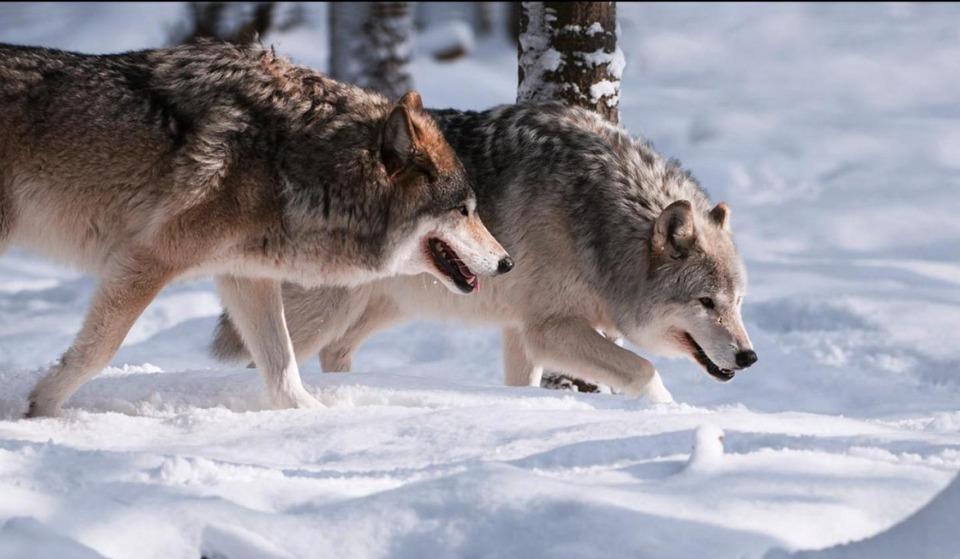 ежевики картинка как охотится волк зимой целый месяц провёл