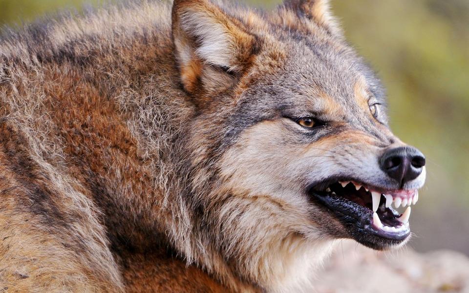 чем питается волк в природе
